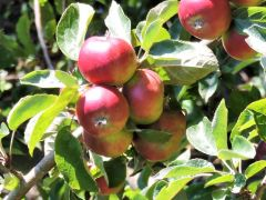harvest_apple_tree.jpg